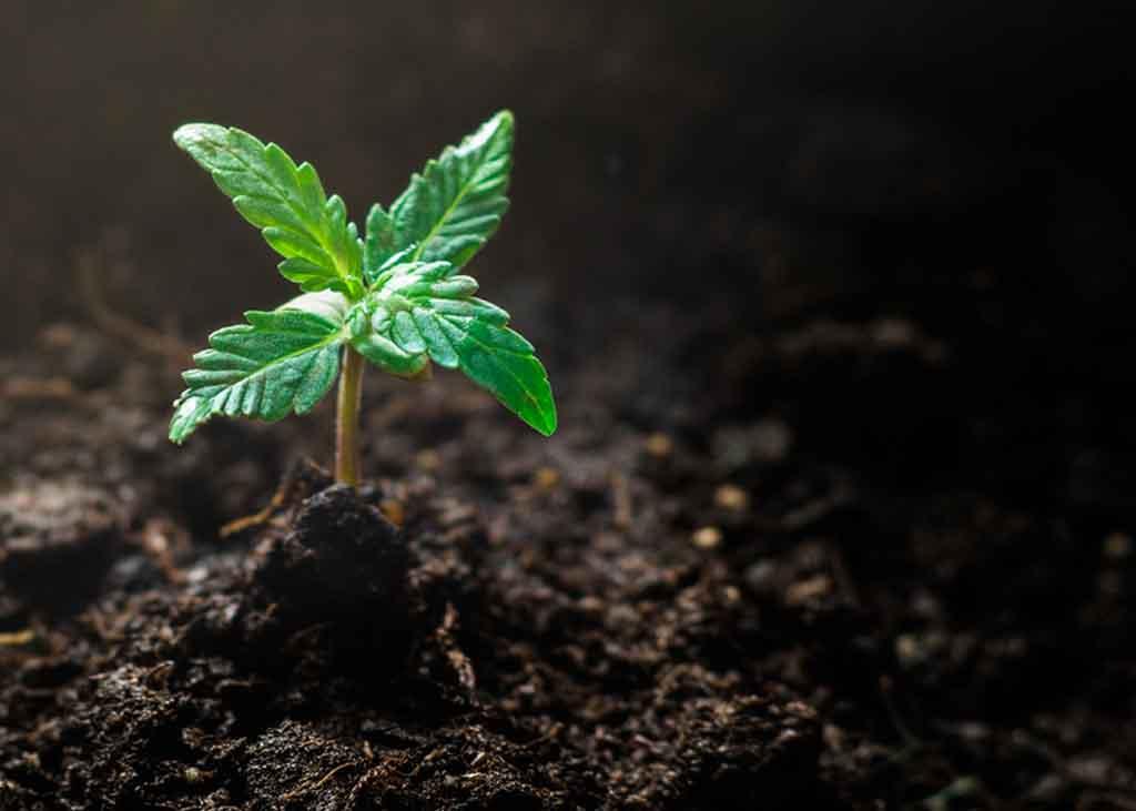 Cannabis Pflanze klein